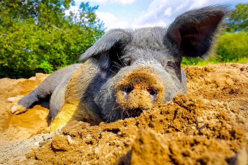 Alte Haustierrassen, Angler Schwein,