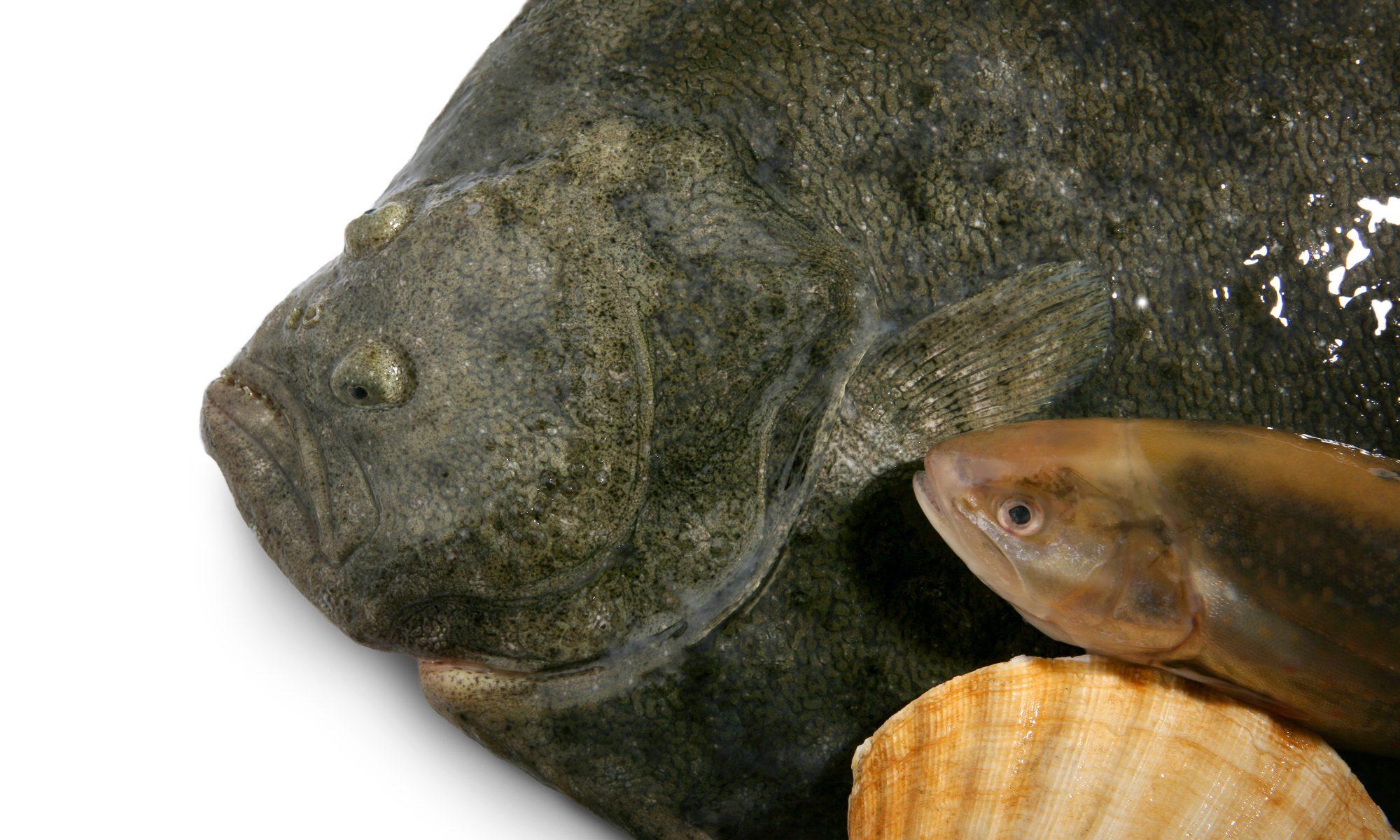 Fisch aus dem See und aus dem Meer. Steinbutt, Saibling und Muschel auf weissem Untergrund